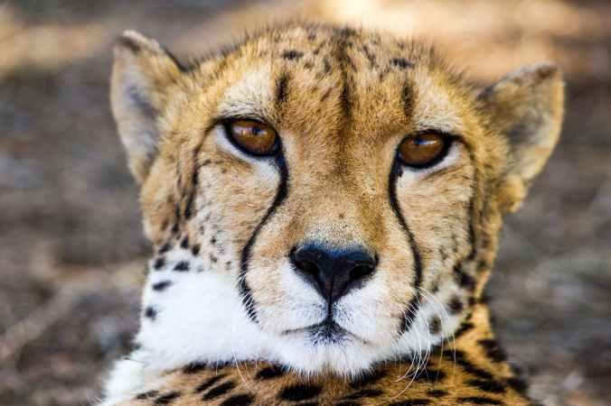nature face close up cheetah