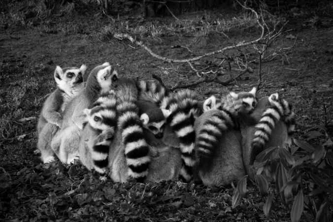 gray scale of lemur