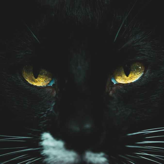 close up photo of black cat