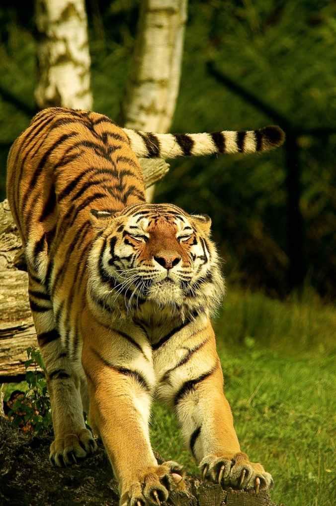 animal animal photography big big cat