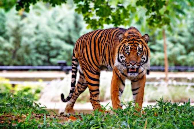 tiger above green grass during day time