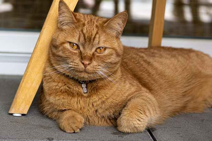 close up photo of sitting brown tabby cat