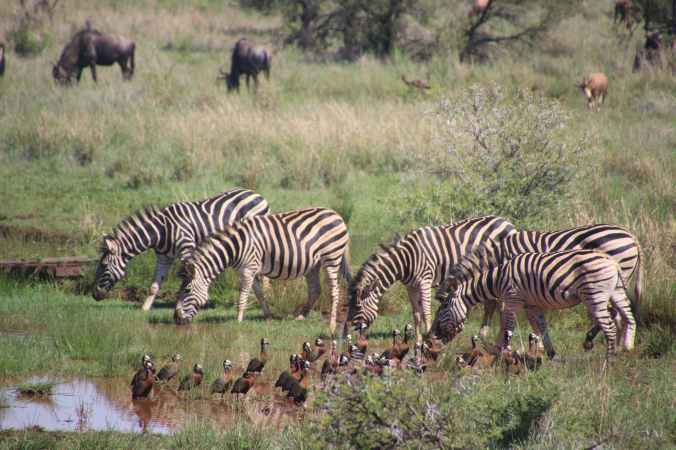 five zebra in pond near brown and black birds soundring by green grass