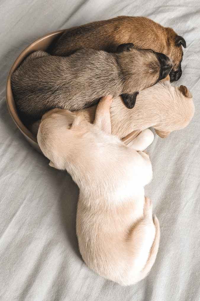 four assorted colored labrador puppies sleeping in a small brown container